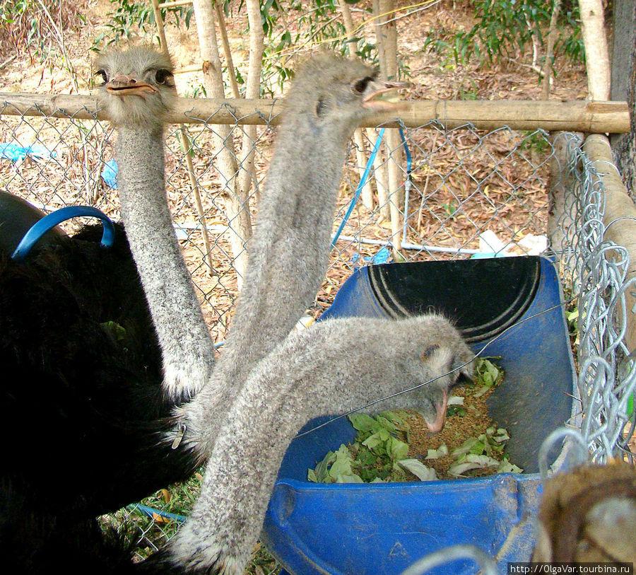 Трехглавый монстр. Обычная пища страусов — побеги, цветы, семена, плоды, но при случае они поедают и мелких животных — насекомых, грызунов, даже рептилий,   и остатки от трапезы хищников.  В неволе страусу требуется около 3,5 кг пищи в день. Здесь их кормили какими-то листочками