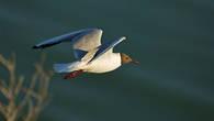 Озерная чайка. Окрестности Атырау