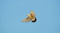 Каменка-плясунья – птица неброской окраски. Но она одна из немногих, чье своеобразное пение и поведение наполняют неприютность пустыни полнотой жизни
