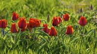 Тюльпаны Грейга (Tulipa greigii) в горах Каратау. Этот один из самых красивых и крупных видов дикорастущих казахстанских тюльпанов благодаря труду голландских селекционеров стал родоначальником целого ряда великолепных культурных сортов.