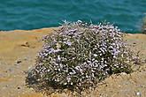 цветы растут прямо на краю высоких обрывов и некоторые из них даже стараются копировать цвет моря...