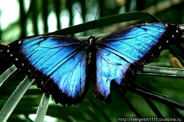 голубая морфо