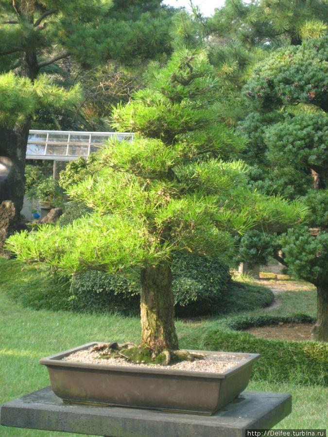Сад Бонсай
