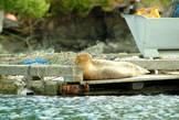 Морские котоки чувствуют себя уютно даже вблизи от людей. Правда малыш выбираться на причал не рискнул (или мама запретила)