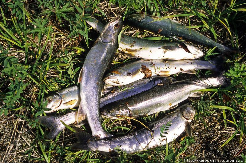 Специально для любителей рыбалки. Мой улов. Мальма — вид гольца.