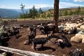 Жители Кумысной фермы