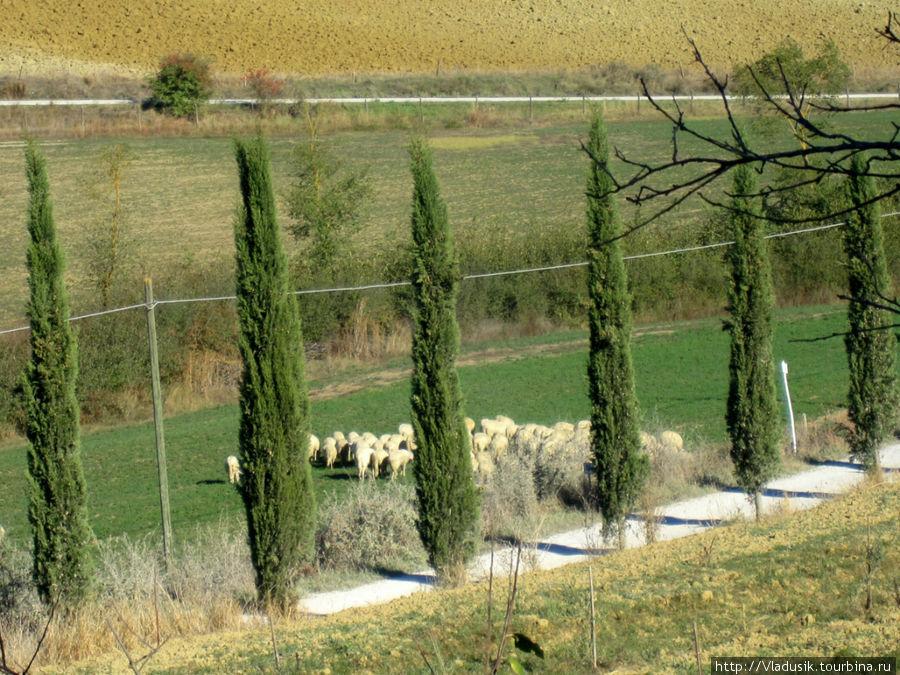Снова овечки