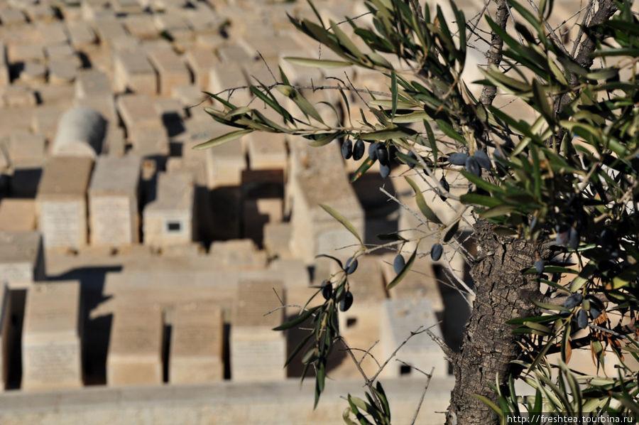Надгробья еврейского кладбища на склонах Масличной горы над долиной Иосафат (часть Кедронского ущелья).  С древности здесь сажали оливковые деревья, из плодов  которых отжимали прессами масло, откуда и происходит название самой горы.