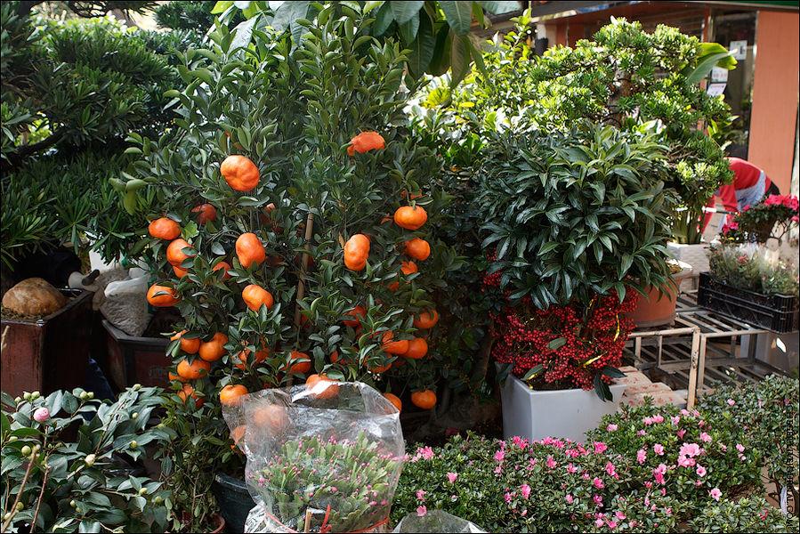 заканчивая большими мандариновыми деревьями с созревшими плодами