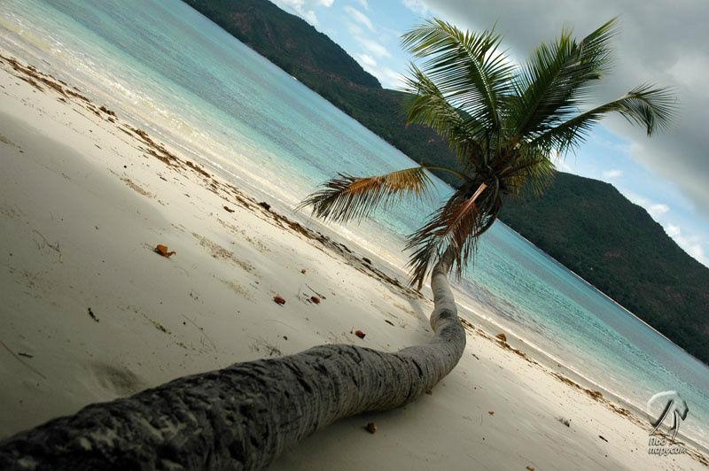 Даже упав на пляж, пальма