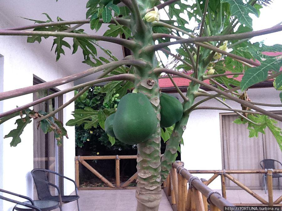 папая прямо во дворе растет