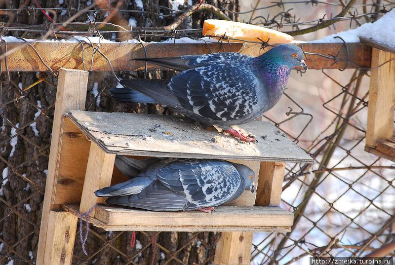 Голуби пытаются поесть из кормушек для мелких птиц