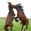 Встреча жеребцов двух соседних табунов почти всегда заканчивается жестокой схваткой, после который победитель может отбить себе несколько кобылиц из косяка противника