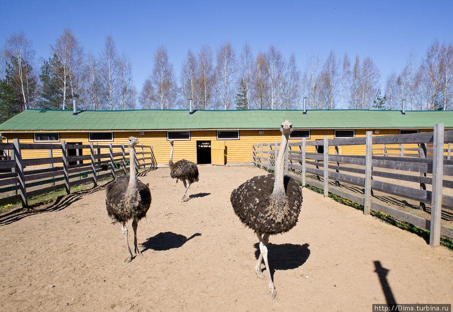 Страусы выбегают из здания фермы, как только заслышат людей.