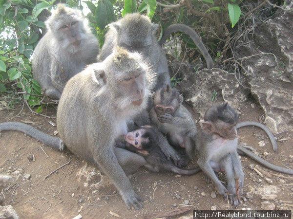 Семейство мартышек))) Лес обезьян на Бали
