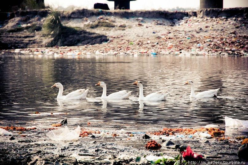 Прекрасные лебеди среди нищеты и мусора...