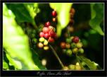 Кофейные плантации. Кофе лежит в каждом огороде, при чем на всей площади этого огорода ..... дозревает.