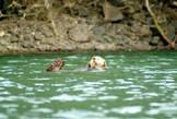 Ондатр, он же морская выдра — плавает за рыбой вглубь, а в свободное время дрейфует по волнам, вытянув лапки и похрапывая...