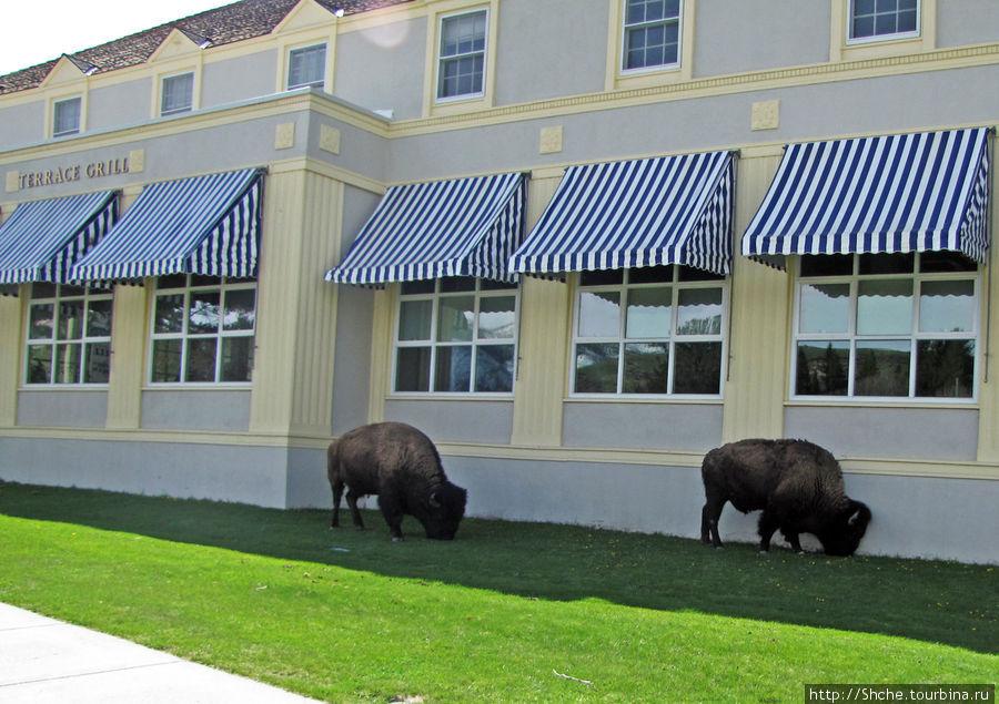 А под стенами запросто пасутся бизоны