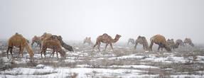Зима в Атырау. Верблюд – один из символов прикаспийских равнин