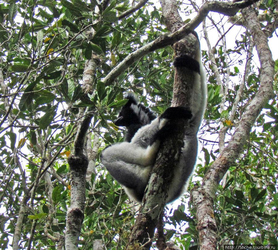 Индри — звезда национального парка