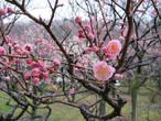 Так как деревьев около 50-ти разных сортов, то и цветы разные. Дальше немного фото разных видов сливы.