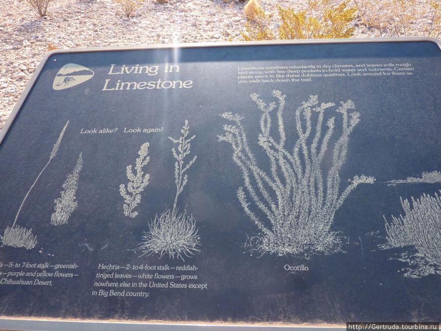 Это стенд, рассказывающий, какие растения могут расти на известняке(Limestone)