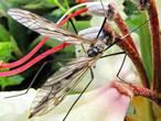 комарик завтракает нектаром из отцветших рододендронов