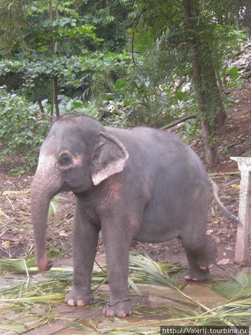 А слон — он и рабочий и участник ежегодных шествий. Тогда его наряжают и почитают.