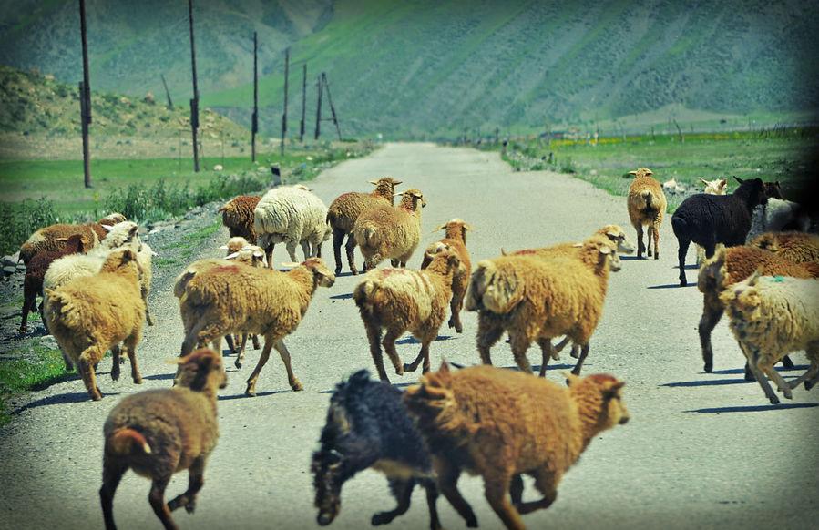 ..и, конечно, вездесущие нарушители спокойствия азербайджанских водителей — внезапно возникающие на дороге стада тех, кто с большой вероятностью совсем скоро пойдет на такой любимый местными жителями шашлык... Хыналыг, Азербайджан