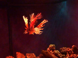 Золотая рыбка похожа на бабочку