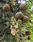 Курупита гвианская — необычное дерево, за поразительное сходство его плодов с пушечными ядрами оно получило еще одно название — дерево пушечных ядер