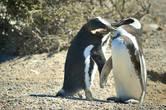 У магелланских пингвинов есть чему поучиться. Они считаются одними из самых верных и постоянных животных и — найдя свою вторую половинку — остаются ей преданными на всю жизнь!