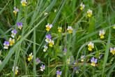 в своем природном варианте они меньше по размеру декоративных и пристально смотрят на нас сквозь высокую траву...