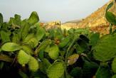 Поднимаясь вверх по ступенькам, можно любоваться кактусами, а можно остановиться и съесть спелый и сладкий плод кактуса.