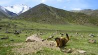 Красный сурок  у своей норы в верховьях ущелья Мерке. Киргизский хребет.