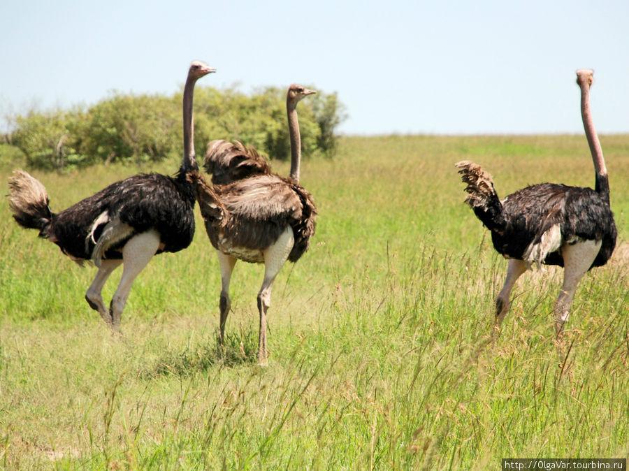Африканские страусы на родных просторах Кении