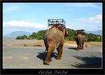 Мы, конечно, прокатились на слонах, и даже пересекли на нем озеро, но удовольствие, лично для меня, — сомнительное. Жалко их. А уши у них, и правда, розовые!