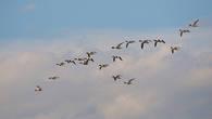 Утки пеганки обычны на водоемах Прикаспийской равнины