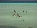 Пеликаны ловят мальков, а хитрые чайки их не ловят, а садятся пеликанам на голову и пытаются выхватить их из огромного клюва за торчащие во все стороны хвосты. Такая вот рыбалка