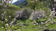Дикий абрикос в Казахстане называют урюком. В апреле его цветение покрывает  склоны горных ущелий покрывалом нежно-розового цвета. Но продлится это великолепие недолго.