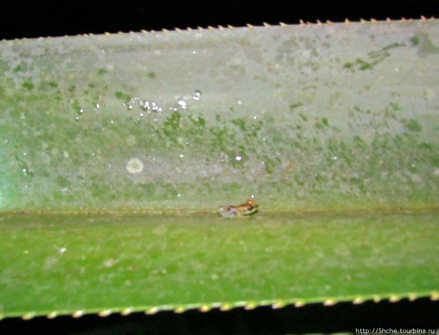 а эта миниатюрная лягушка вызвала приступ удовлетворения у нашей проводницы