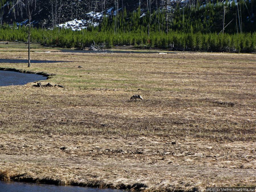 Проехав дальше мы заметили на противоположном берегу реки волка. Далековато, но первый зверь, пропустить нельзя