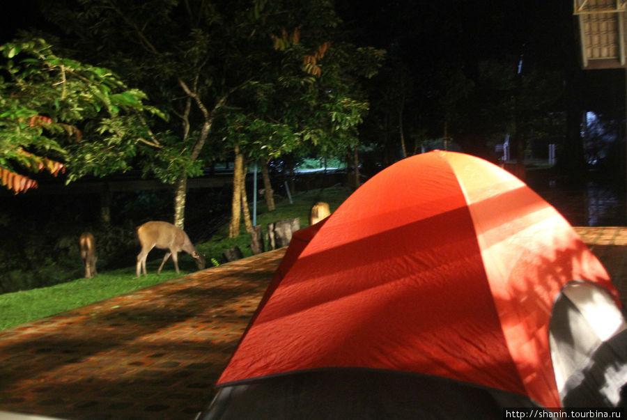 Олени ночью пасутся прямо у нашей палатки