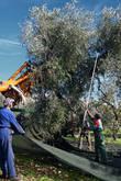 Рабочие расстилают подстилку и стряхивают оливки палицей. Машина же подъезжает вплотную к дереву, упор прижимается к стволу и начинает вибрировать