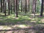 сосновый лес вокруг озера