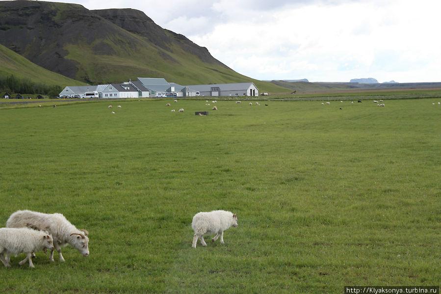 Без овец в Исландии никуда!