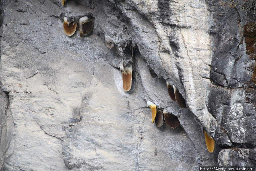 Соты диких пчёл в ущелье реки Дуд Кола
