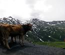 Что коровы делают на такой высоте,я не знаю,там почти нет еще травы,и холодно.