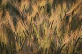 Низкое солнце умудрялось осветить и выделить каждую ржаную ресничку и превратить каждый колосок в отдельное маленькое солнышко, раскидывающее вокруг себя тысячи золотистых лучей.